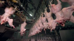Factory overhead lines and carousels with chicken carcasses. Factory poultry processing lines on different levels and of various shapes stock video