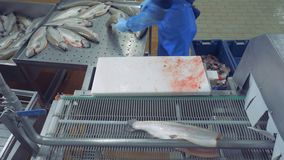Factory specialist is chopping heads of fish and putting it onto the belt. 4K stock video