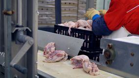 A factory worker collects chicken carcasses from a conveyor at a meet processing plant. 4K.
