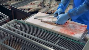 Factory worker is putting the fish onto the conveyor after cutting their heads off. Factory worker is putting the fish onto the belt after cutting their heads stock footage
