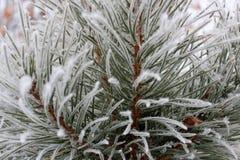 Fada do pinho da floresta na geada Imagens de Stock