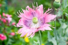 Fade pink poppy Stock Photos