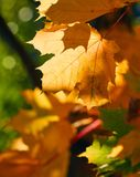 Faded autumn leaves of maple tree in direct sunlight in fall Royalty Free Stock Photos
