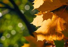 Faded autumn leaves of maple tree in direct sunlight in fall Royalty Free Stock Images