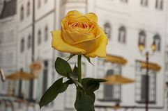 Faded big bright yellow flower of rose are standing on the table. Green leaves and thorns. Background with town with houses, windo. Ws, cafes, streets, lamps stock photo