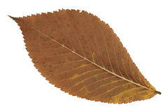 A faded brown autumn leaf Royalty Free Stock Photography