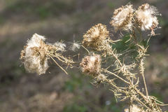 Faded burdock prickles with cobwebs, Royalty Free Stock Photos