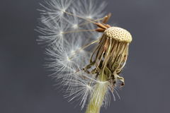 Dandelion flower head faded Royalty Free Stock Images