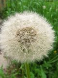 White fluffy dandelion on a background of green grass stock photos