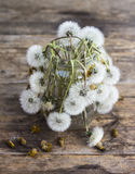 Faded dandelions Royalty Free Stock Photos