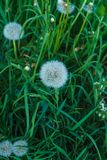 Faded dandelions in the thick grass in early spring stock photo