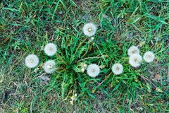 Faded dandelions in the thick grass in early spring royalty free stock photos