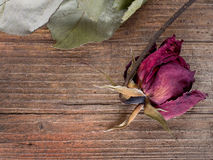 Faded, dead rose. Red. Metaphor. Stock Photography