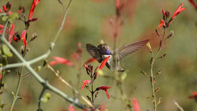 Faded Glory. A manual focus of a super male hummer in flight, hiding behind a set of flowers Royalty Free Stock Images