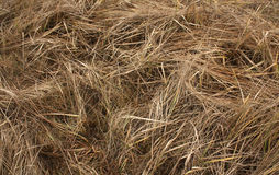 Faded grass. Natural background Stock Photography