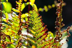 Faded green and brown bracken fern Adlerfarn, Pteridium Aquilinum shimmering glowing in autumn sun - Viersen, Germany. Faded green and brown bracken fern royalty free stock image