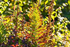 Faded green and brown bracken fern Adlerfarn, Pteridium Aquilinum shimmering glowing in autumn sun - Viersen, Germany stock images