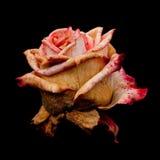 Faded Grimaldi rose Stock Photo