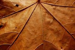 Faded leaf veins Royalty Free Stock Images