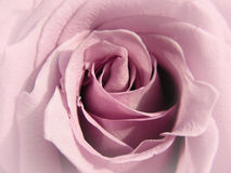 Faded Lilac Rose Stock Images