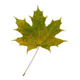 Faded maple leaf. Isolated on white background Stock Photography