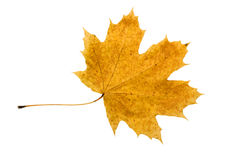 Faded maple leaf. Faded yellow maple leaf. Isolated on white Royalty Free Stock Image