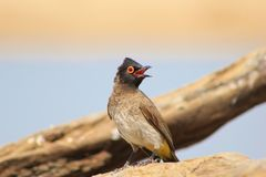 Faded natural colors - Red-eyed Bulbul Stock Images