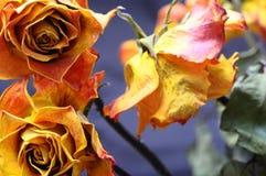 Faded orange rose flower Stock Photos