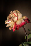 Faded pale Rose. On a dark background Royalty Free Stock Photos