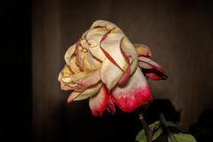 Faded pale Rose. On a dark background Stock Photo