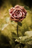 Faded pink rose in a garden Stock Images
