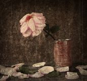 Faded Pink rose in an old can. Faded Pink rose against grunge background in a rusty can, with petals on an old worn desk Stock Images