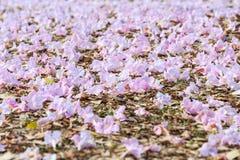 Faded pink trumpet flower or tatebuia rosea Stock Photo