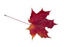 Faded red leaf. Faded red maple leaf. Isolated on white Royalty Free Stock Photography