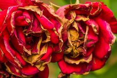 Faded red roses autumn fall blossom brown old Stock Images