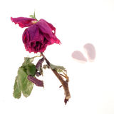 Faded rose 1. A faded rose with a broken candy heart, isolated on white Royalty Free Stock Photography