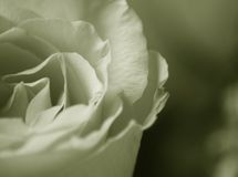 Faded Rose. Macro Black and white photo of rose stock photography