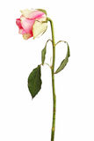 Faded rose on a dry stalk with leaves Royalty Free Stock Photography
