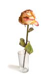 The faded rose in a glass. On white background Stock Images