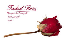 Faded rose - isolated over white Royalty Free Stock Photography