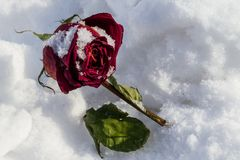 Dried rose frosted on snow cover Royalty Free Stock Images