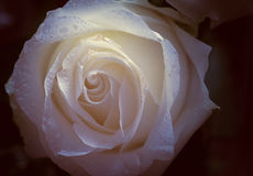 Faded rose. Royalty Free Stock Image
