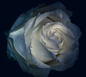 Faded rose. Stock Photo