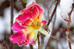 Faded rose in winter Stock Photos