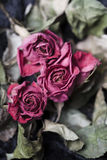 Faded Roses. Faded and withered roses - a metapher for aging Royalty Free Stock Photography
