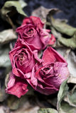 Faded Roses. Faded and withered roses - a metapher for aging Royalty Free Stock Photos