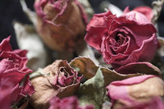 Faded Roses. Faded and withered roses - a metapher for aging Royalty Free Stock Images