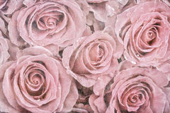 Faded roses royalty free stock image