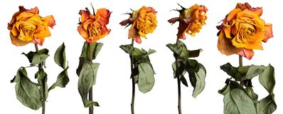 Faded roses set Stock Photography