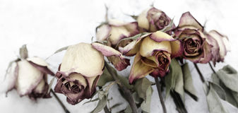 Faded roses on white background Royalty Free Stock Photos
